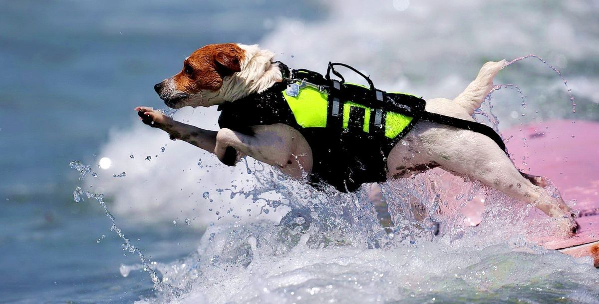 Инженеры из Университета Тохоку создали способ дистанционного управления собакой