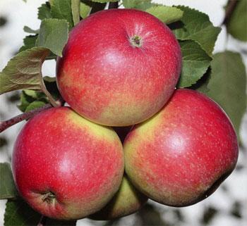 Молодильное яблочко. Видео. 4079.jpeg