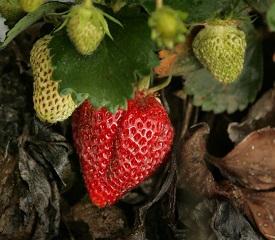 Красоту и здоровье подарят лесные ягоды. 11356.jpeg