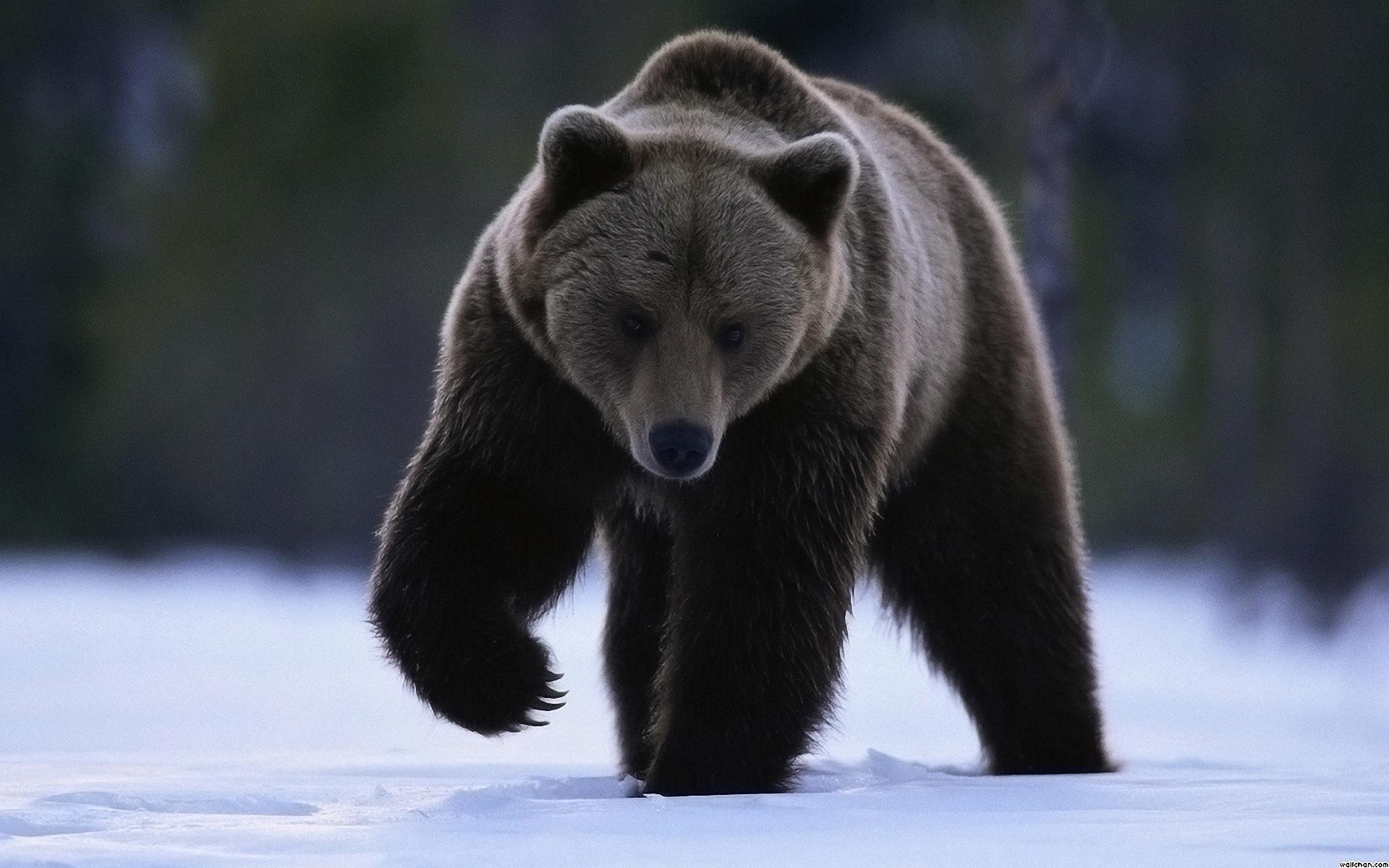 Медведь выбрал берлогу на зиму на территории города Снежинска под Челябинском