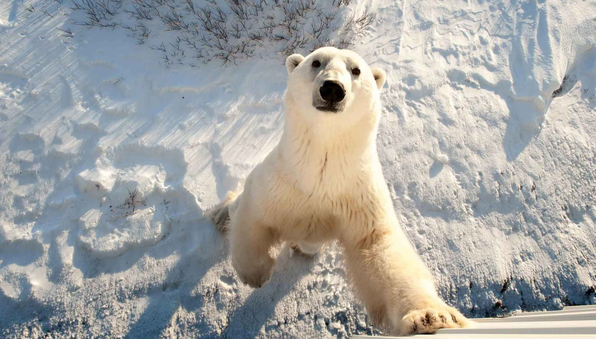 В Эстонском зоопарке усыпили медведя, подаренного Москвой