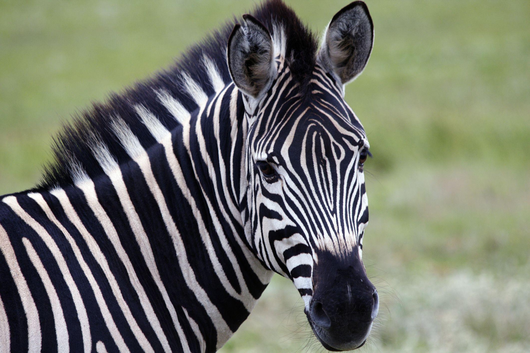 Норвежский зоопарк скормил зебру голодным тиграм на глазах посетителей