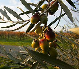 Итальянский оливковый ноябрь. оливки