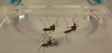 Ученые научили комаров не пить кровь