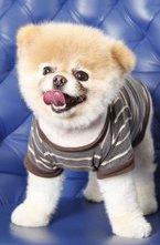 Знакомтесь - это Boo, самая популярная собака Фейсбука. Когда хозяйка смешной и позитивной собачки Бу (Boo), решила выкладывать фотографии своего питомца на Фейсбук, она себе даже не представляла во что это выльется. Милая мордашка собаки приглянулась очень многим и буквально за пару месяцев каждая фотография стала получать по 10-25 тысяч «Лайков» в этой социальной сети.