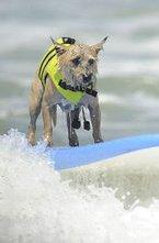 Соревнованием серферов вряд ли можно кого-то удивить. Но если поставить на доски животных, то это вызовет большой интерес.